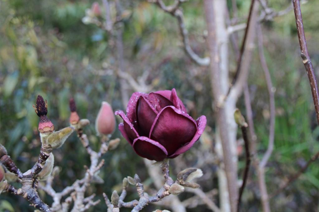 Magnolia ...